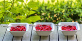 Red currant panorama — Stock Photo