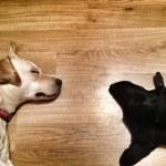 My Dog -Labrador Retriever — Stock Photo
