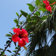 Red flowers of hibiscus on the branch in the foreground, palm away — Stock Photo