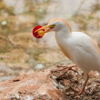 Cattle Egret with a soother in its beak - Stock Photo