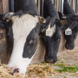 Cow heads in a cowshed — Stock Photo
