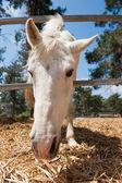 White horse head — Stock Photo