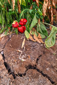 Wilted peppers growing from a dry cracked soil — Stock Photo