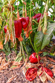 Wilted peppers — Stock Photo