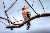 Hoopoe on the branch — Stock Photo