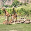 Group of Giraffes — Stock Photo