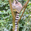 White-headed lemur — Stock Photo #30410021