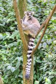 White-headed lemur — Stock Photo