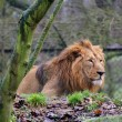 Stock Photo: Male of asiatic lion