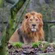Male of asiatic lion — Stock Photo