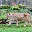 Female and male of asiatic lion — Stock Photo