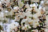 White bloom — Stock Photo