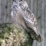 Eurasian Eagle-Owl — Stock Photo