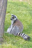 Lemur photo — Stock Photo