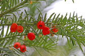 Yew tree — Stock Photo