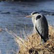 Grey Heron on the river bank. — Stock Photo