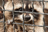 Raccoon in a cage. — Stock Photo