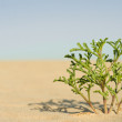 Green plant  in desert — Stock Photo