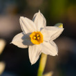 Stock Photo: Daffodils at spring