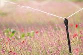 Irrigating a flower field — Stock Photo