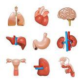 Vector human internal organs icon set — Stock Vector