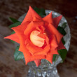 Coral and orange rose in a vase — Stock Photo