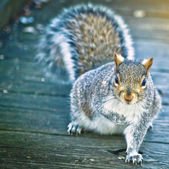 Curious Gray Squirrel — Stock Photo