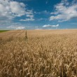 Stock Photo: Rye field