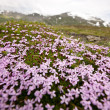 Stock Photo: Pink mountain flowers