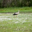 Stork in hayfield — Stock Photo
