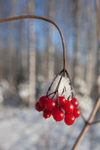 Winter berries — Stock Photo