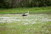 Stork in hayfield — Stock Photo