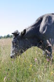 Blue latvian cow — Stock Photo