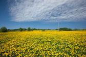 Pampeliška pole — Stock fotografie