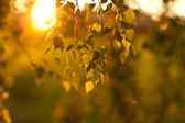 Leafs in sunset — Stock Photo