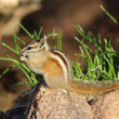 Chipmunk eating — Stock Photo #24492093