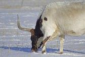 Cattle — Foto Stock
