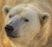 Bear — Stockfoto