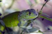 Lizard — Stockfoto