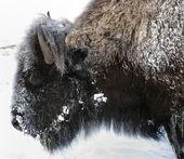 Bufalo — Foto Stock