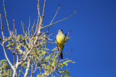 Western Kingbird — Stock Photo