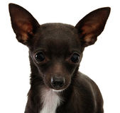 Chihuahua Face Close Up — Stock Photo