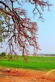 Um dia de sol debaixo de uma árvore de algodão de seda — Foto Stock