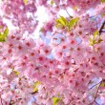 Cherry blossom — Stock Photo #23947587