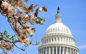 US Capitol in Magnolia bloom — Stock Photo