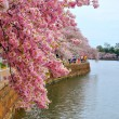 Cherry blossoms — Stock Photo #23975951
