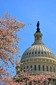 US Capitol in cherry bloom — Stock Photo