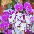 Phalaenopsis. Pink and white orchid — Stock Photo