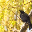 A crow on tree — Stock Photo