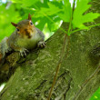 A squirrel looks at the camera — Stock Photo #25269141